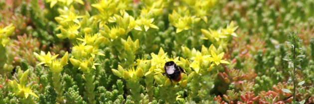 Zielone dachy miododajne – ochrona pszczół w mieście